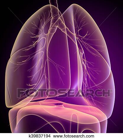 Drawings of Human lungs and bronchi in x-ray view k39837194 - Search ...