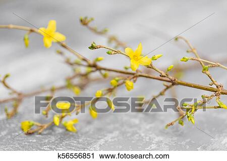 Stock Photography Of Yellow Forsythia Suspensa Spring Flowers Bloom