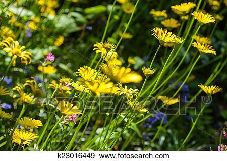 Archivio fotografico - prato, di, fiori gialli k23016449 - Cerca ...