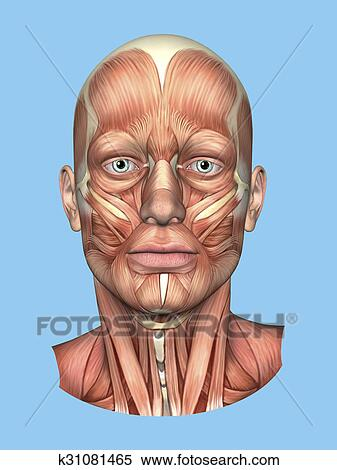 Stock Illustration of Anatomy Front View of the Major Face Muscles ...
