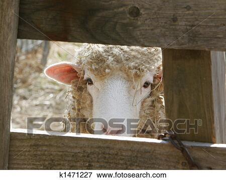 3c0e20b4f Obrázok - najnovší, ovečka, on rolnictvo k1471227 - Prehľadávaj Fotografie,  Fotky, Tlače, Obrázky a Foto Klipart - k1471227.jpg