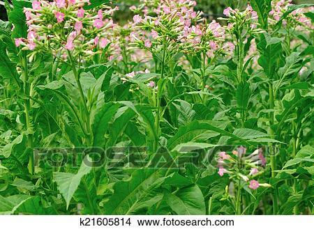 Banque de photo feuille tabac plante k21605814 recherchez des banque de photo feuille tabac plante altavistaventures Image collections