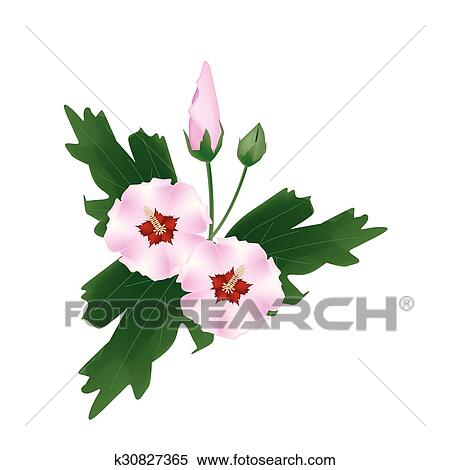 Pink Hibiscus Flower Bud On White Background Clipart K30827365