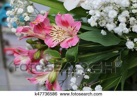 Beautiful Flowers Of Peruvian Lily Alstroemeria Plant Stock Photograph K47736586 Fotosearch