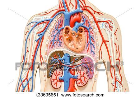 Stock Fotografie - modell, menschlicher körper, mit, leber, niere ...