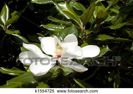 White Magnolia Stock Photography K1554725 Fotosearch