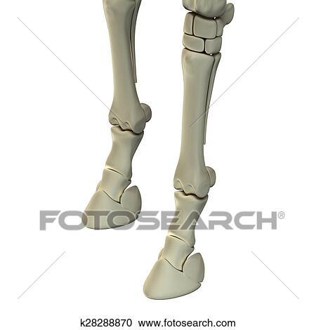 Colección de ilustraciones - caballo, frente, huesos de la pierna ...