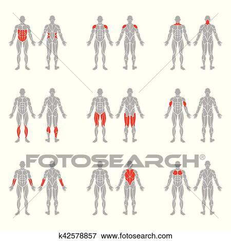Clip Art - menschlicher körper, muskeln k42578857 - Suche Clipart ...