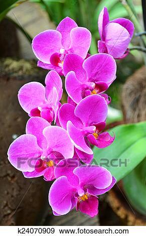 colección de fotografía orquídea flores k24070909 buscar fotos