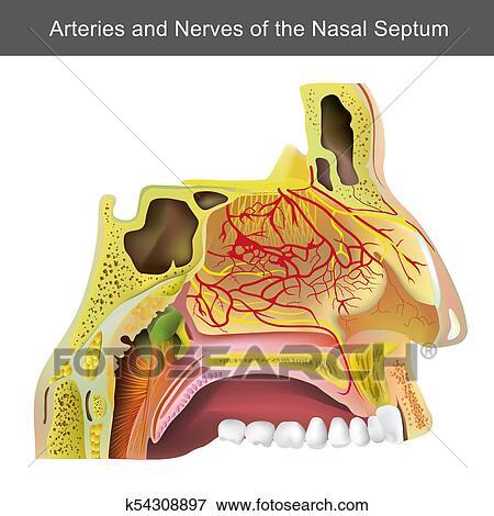 Colección de ilustraciones - el, cavidad nasal, (or, nasal, fossa ...