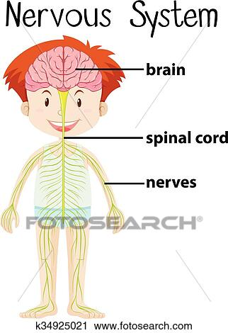 Clipart Of Nervous System In Human Body K34925021 Search Clip Art