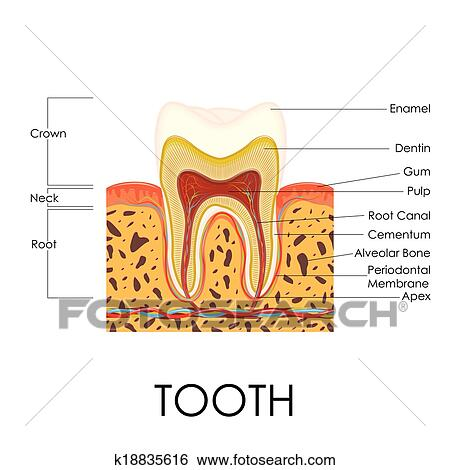 Clip Art of Human Tooth Anatomy k18835616 - Search Clipart ...