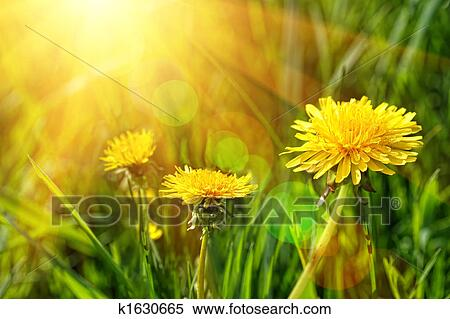 Stock image of big yellow dandelions in the tall grass k1630665 big yellow dandelions in the tall grass mightylinksfo