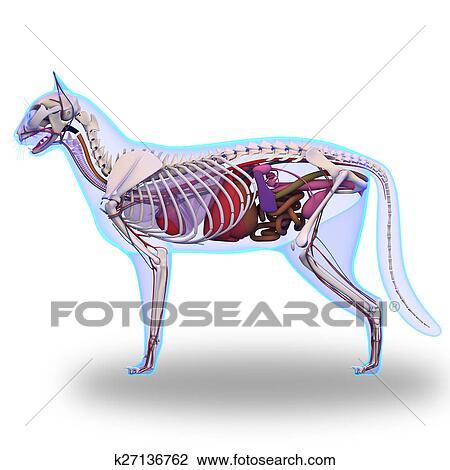 Clip Art - gato, anatomía, -, interno, anatomía, de, un, gato ...