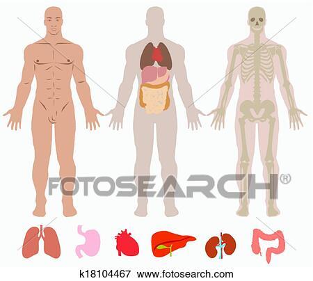 Clip Art - menschliche anatomie, von, mann, hintergrund k18104467 ...