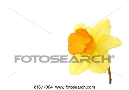 Jonquille espace copy dessins k1677064 - Dessin jonquille fleur ...