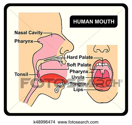 human mouth anatomy diagram clipart k48996474human mouth anatomy diagram including all parts for medical science education