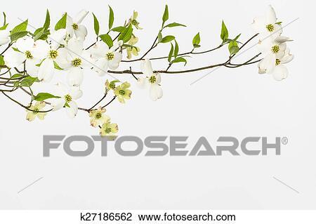 Stock Foto - wild, blühen, weiß, dogwoods k27186562 - Suche ...