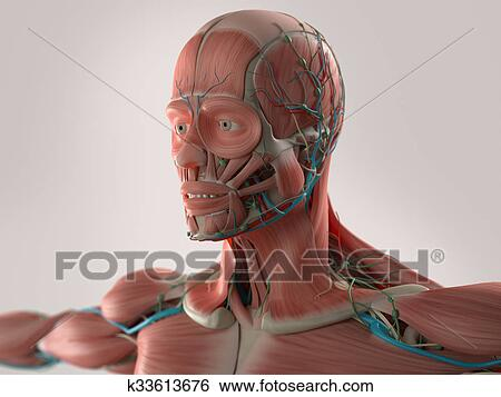 Stock Illustration - menschliche anatomie, gesicht, muskeln ...