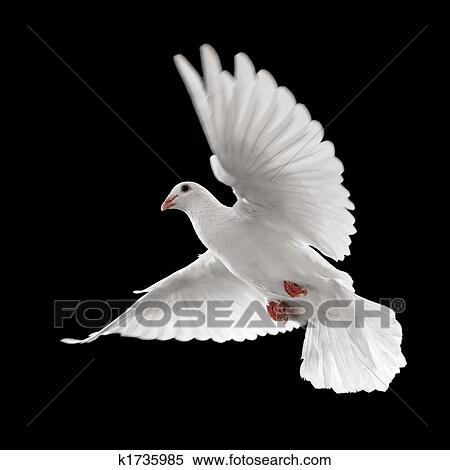 stock image of white dove in flight k1735985 search stock photos