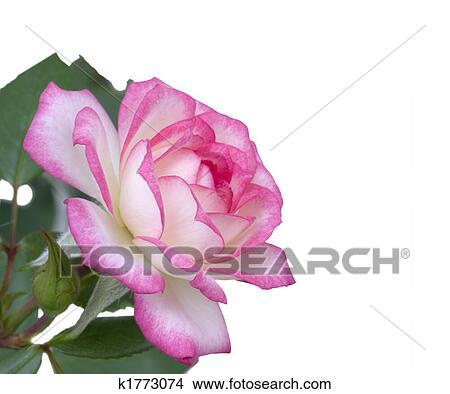 Banque De Photo Enfante Jour Fleur Rose Rose Blanche K1773074