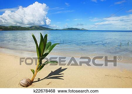 Palm tree sprout on a tropical beach, Nananu-i-Ra island, Fiji Stock Photo