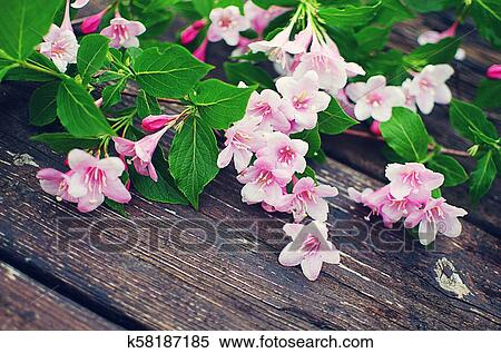Pink flowers veigela on a branch with leaves growing in the spring