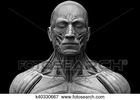 Stock Illustration Of Human Body Anatomy Of A Male K40330667