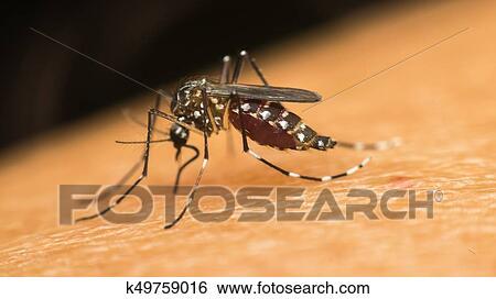 Macro, di, zanzara, (aedes, aegypti), succhiare, sangue Archivio fotografico