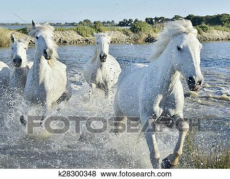 Pictures Of Herd Of White Horses Running And Splashing Through Water