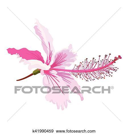 Pink Hibiscus Clip Art K41990459 Fotosearch