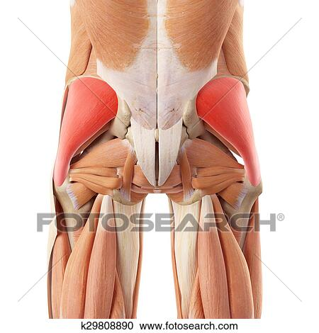 Stock Photography of The gluteus medius k29808890 - Search Stock ...