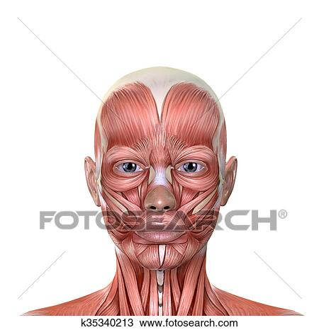 Drawing of Female Face Muscles Anatomy k35340213 - Search Clipart ...
