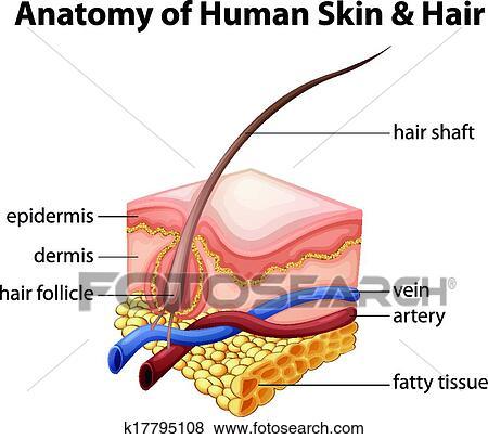 Clip Art - anatomía, de, piel humana, y, pelo k17795108 - Buscar ...