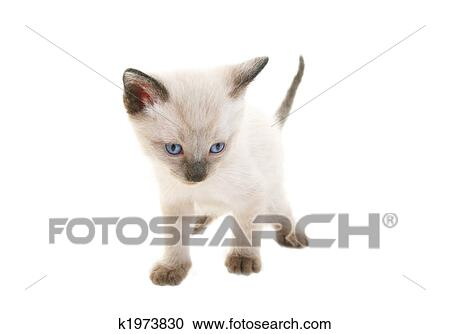 Baby Siamese Stock Image K1973830 Fotosearch