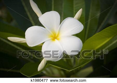 Weisse Blume. Trendy Blume Weie Blume Makro Orchidee Blte With ...