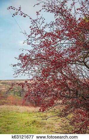 Autumn Red Berries Of A Hawthorn Tree Crataegus Monogyna In A