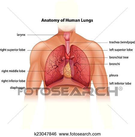 Clip Art Of Human Lungs Anatomy K23047846 Search Clipart