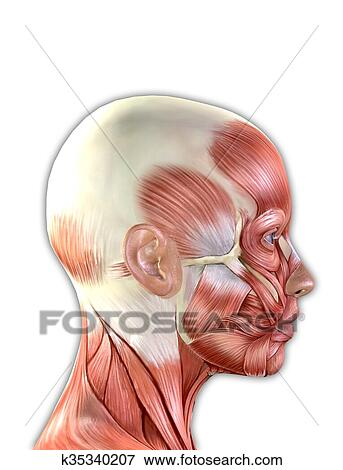Picture of Female Face Muscles Anatomy k35340207 - Search Stock ...