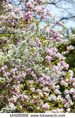 Banque D Images Arbre Magnolia Fleur K54290906 Recherchez Des
