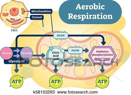Clipart Of Aerobic Respiration Bio Anatomical Vector Illustration