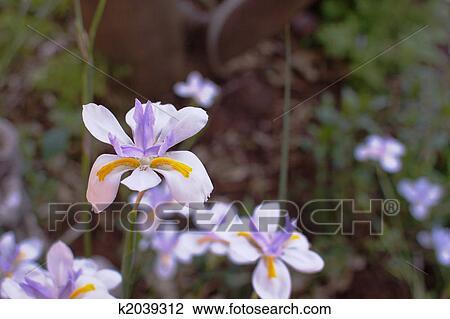 Coleccion De Foto Solo Iris Suave Flores Y Hojas Plano De