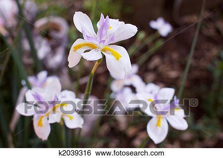 Coleccion De Imagenes Solo Iris Suave Flores Y Hojas Plano