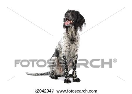 Bild A Schwarz Weiß Münsterländer Jagen Hund K2042947 Suche