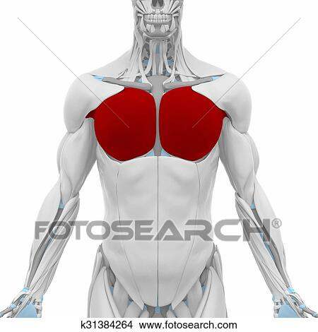 Drawings of pectoralis major - Muscles anatomy map k31384264 ...