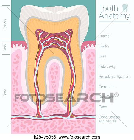 Clip Art Of Tooth Medical Anatomy With Words K28475956 Search