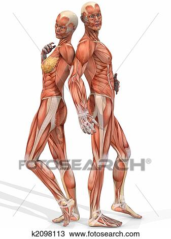 Drawing Of Female And Male Anatomic Body Couple K2098113 Search