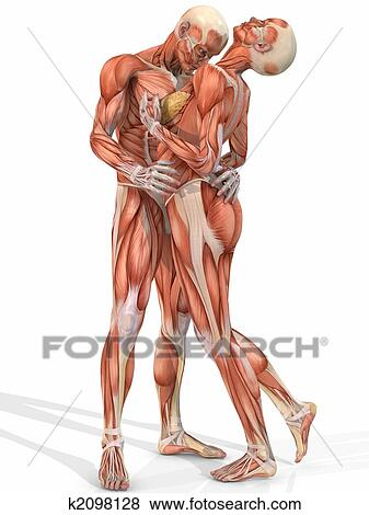 Stock Illustration Of Female And Male Anatomic Body Couple
