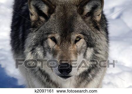 Lupo grigio archivio immagini k2097161 fotosearch