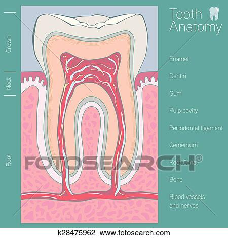 Clipart of tooth medical anatomy with words k28475962 - Search Clip ...